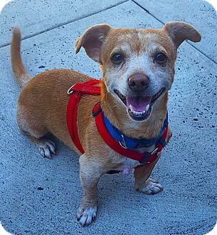 Chihuahua/Dachshund Mix Dog for adoption in Bronx, New York - Jiff