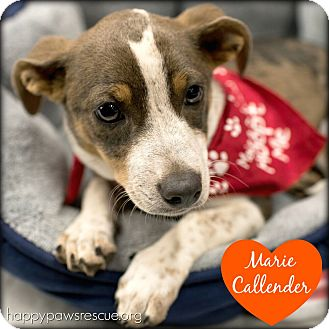 Chihuahua/Dachshund Mix Puppy for adoption in South Plainfield, New Jersey - Marie Callender