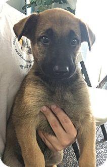 Belgian Malinois Puppy for adoption in Sacramento, California - Zeb