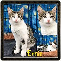 Adopt A Pet :: Ernie - Jeffersonville, IN