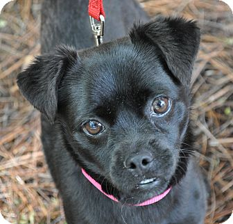 Pug/Chihuahua Mix Dog for adoption in Atlanta, Georgia - CeCe