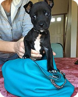 Pit Bull Terrier Mix Puppy for adoption in Sharon Center, Ohio - Parker