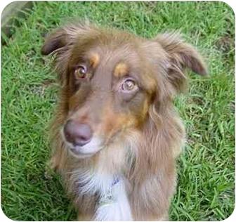 Australian Shepherd Dog for adoption in Orlando, Florida - Brumby
