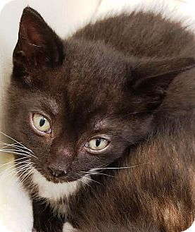 Domestic Shorthair Kitten for adoption in Kalamazoo, Michigan - Moby