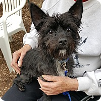 Adopt A Pet :: Opie - East Hartford, CT