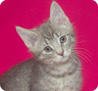 Domestic Shorthair Kitten for adoption in Elmwood Park, New Jersey - Dale