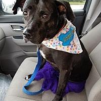Staffordshire Bull Terrier/Boxer Mix Dog for adoption in Houston, Texas - Gizelle