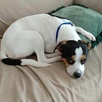 Adopt A Pet :: Laars - Alpharetta, GA