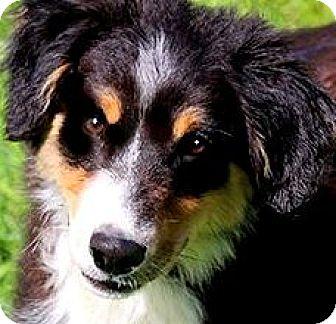 Australian Shepherd Puppy for adoption in Wakefield, Rhode Island - OLIVIA(ADORABLE AUSSIE PUPPY!!