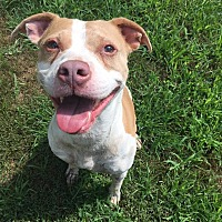 Adopt A Pet :: Harlow - Shelbyville, KY