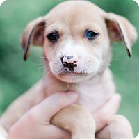Adopt A Pet :: Scarlett $250 - Seneca, SC