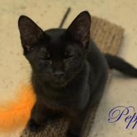 Domestic Shorthair/Domestic Shorthair Mix Cat for adoption in Middleburg, Florida - Pepper
