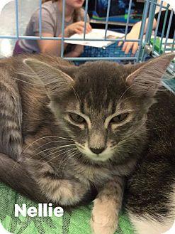 Domestic Mediumhair Kitten for adoption in Mansfield, Texas - Nellie