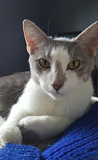 Domestic Shorthair Cat for adoption in Hillside, Illinois - Rose -- HAPPY GIRL - FUN & SWEET