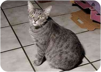 American Bobtail Cat for adoption in New Port Richey, Florida - Lainie