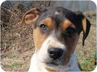 Beagle/Labrador Retriever Mix Puppy for adoption in Braintree, Massachusetts - Bradley