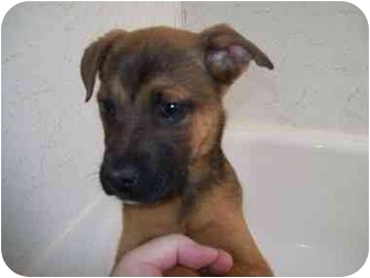 Shepherd (Unknown Type)/Boxer Mix Puppy for adoption in Bel Air, Maryland - Jameson