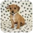 Photo 1 - Beagle/Chihuahua Mix Puppy for adoption in Broomfield, Colorado - Missouri