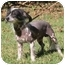 Photo 1 - Chinese Crested Dog for adoption in Brecksville, Ohio - Chance/ IN VIRGINIA