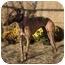 Photo 1 - Greyhound Dog for adoption in Dallas, Texas - Wolfe