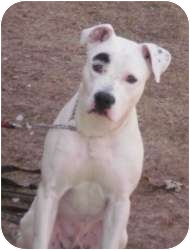 American Pit Bull Terrier Mix Puppy for adoption in Bloomfield, Connecticut - Zek