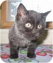 Domestic Mediumhair Kitten for adoption in Shelton, Washington - Jazzy