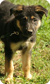 German Shepherd Dog Mix Puppy for adoption in Plainfield, Connecticut - Ethan