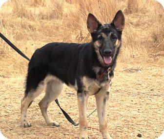 German Shepherd Dog Dog for adoption in Pleasant Grove, California - Rosie