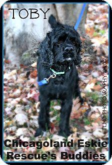Cocker Spaniel Dog for adoption in Elmhurst, Illinois - Toby