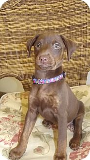 Miniature Pinscher Mix Puppy for adoption in Marshall, Texas - CeCe