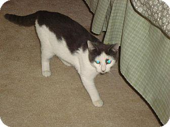 Domestic Shorthair Cat for adoption in Greer, South Carolina - Batman