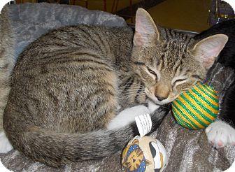 Domestic Shorthair Kitten for adoption in Richmond, Virginia - Anton