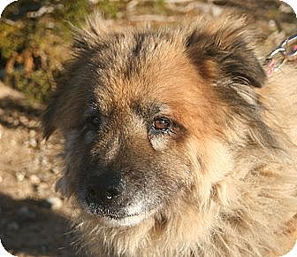 Chow Chow/Shepherd (Unknown Type) Mix Dog for adoption in Littlerock, California - Chow Mein