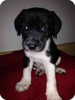 Australian Shepherd Mix Puppy for adoption in ST LOUIS, Missouri - Butler