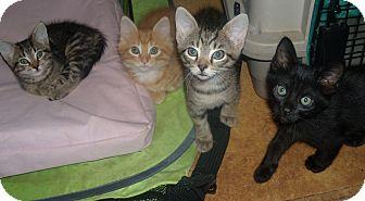 American Shorthair Kitten for adoption in Buford, Georgia - kittens-males, females, colors