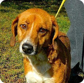 Beagle/Sheltie, Shetland Sheepdog Mix Dog for adoption in Cincinnati, Ohio - Betty Lou: Mariemont