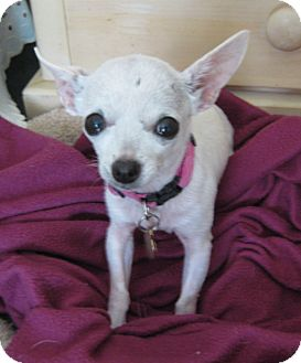 Chihuahua Mix Dog for adoption in San Diego, California - Trinket