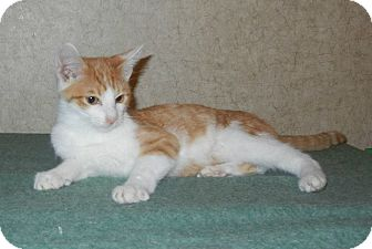 Domestic Shorthair Cat for adoption in Lasalle, Illinois - Ricky