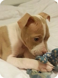 Pit Bull Terrier Mix Puppy for adoption in Laingsburg, Michigan - Royale