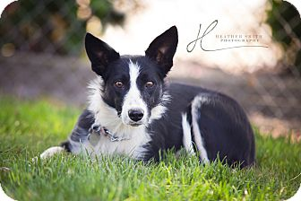 Border Collie Mix Dog for adoption in Corning, California - JEN