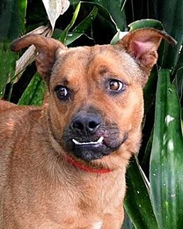 Boxer Dog for adoption in Sebastian, Florida - Trixie
