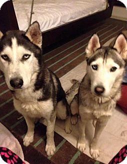 Siberian Husky Dog for adoption in Zanesville, Ohio - Kodah