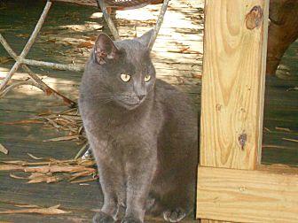 Domestic Shorthair Cat for adoption in Naples, Florida - Gigi