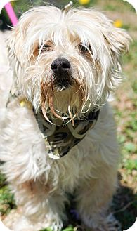 Poodle (Miniature)/Yorkie, Yorkshire Terrier Mix Dog for adoption in Red Lion, Pennsylvania - Bugger