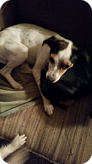 Jack Russell Terrier/Dachshund Mix Dog for adoption in Sumter, South Carolina - Manx and Princess