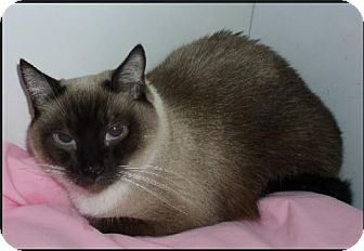 Snowshoe Cat for adoption in Gilbert, Arizona - Mr. Mann