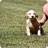 Adopt A Pet :: Mayella - South Dennis, MA