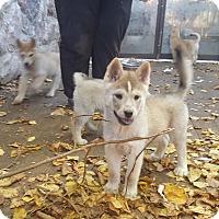 Adopt A Pet :: Storm, Spirit, Sky and Smokey - Antioch, IL