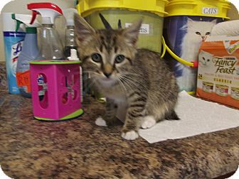 American Bobtail Kitten for adoption in Marshall, Texas - Prescott