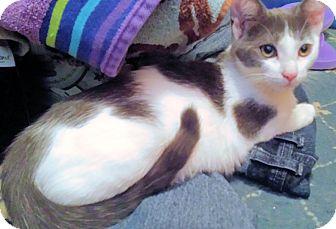 Domestic Shorthair Kitten for adoption in Morganton, North Carolina - Mimi